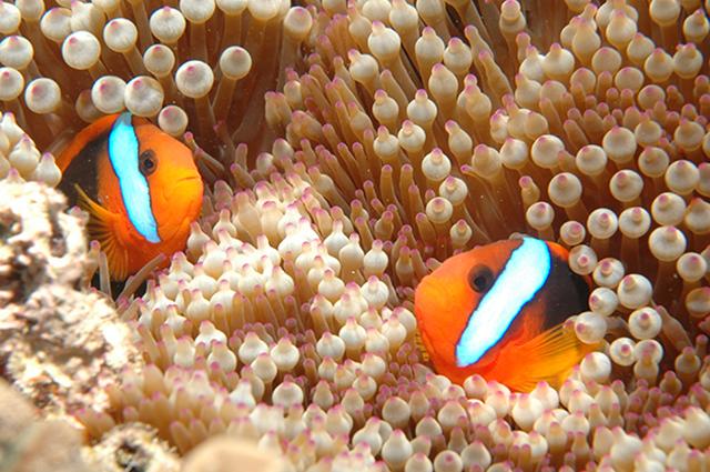 Clownfish,_Great_Barrier_Reef,_Cairns,_Australia