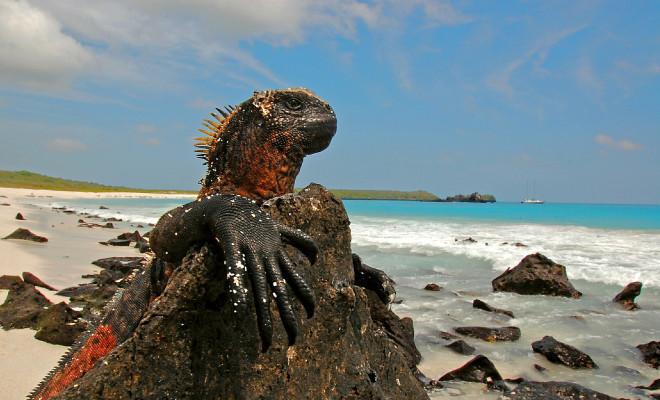 galapagos-iguana1