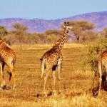 Серенгети – Раят на Танзания