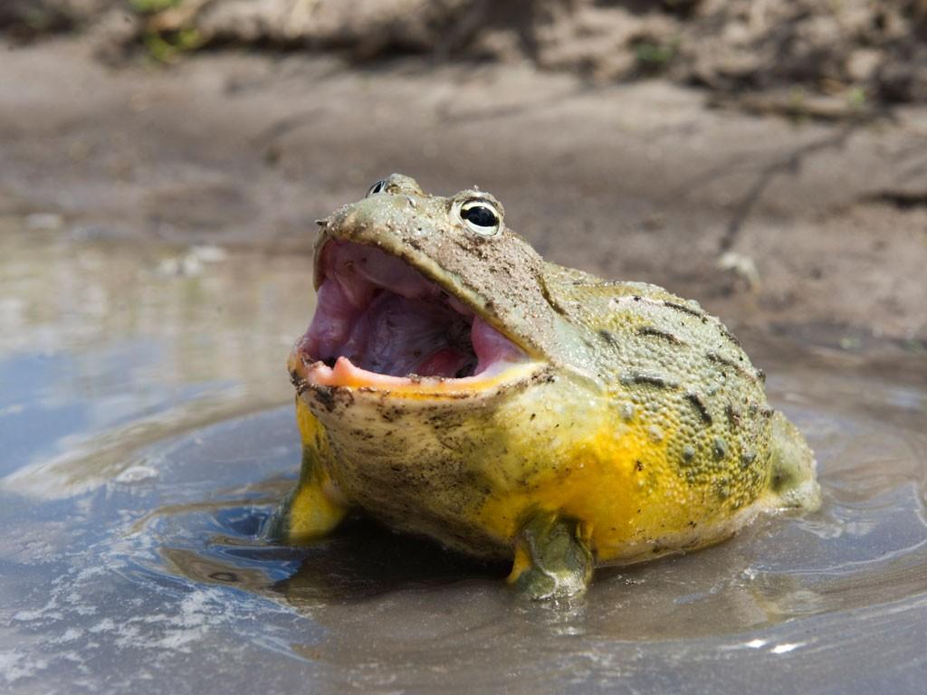 8-african-bullfrog