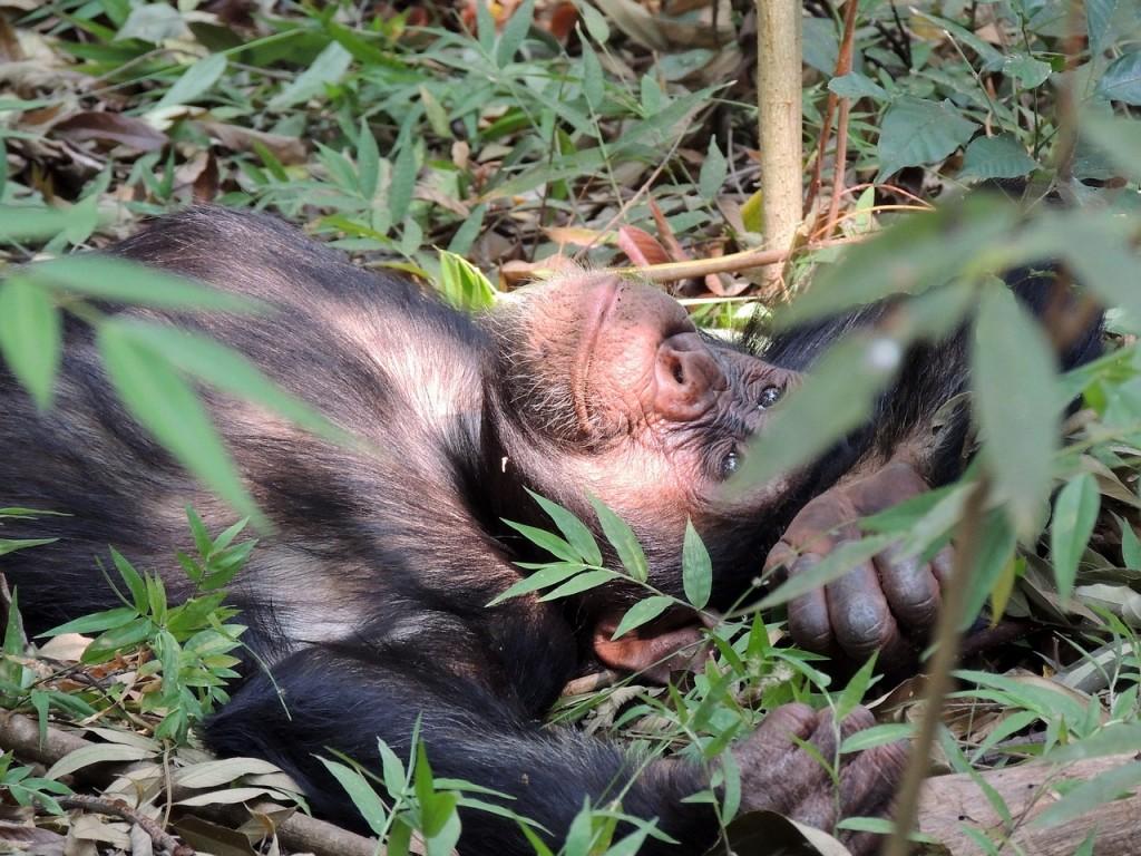 chimpanzee-718273_1280