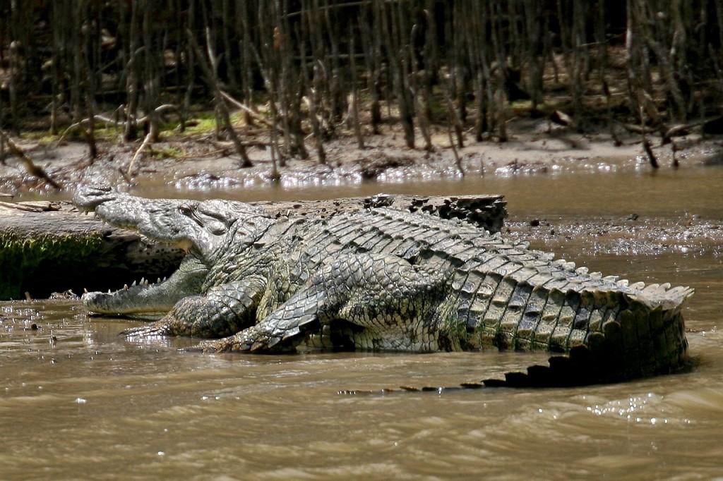 crocodile-374449_1280