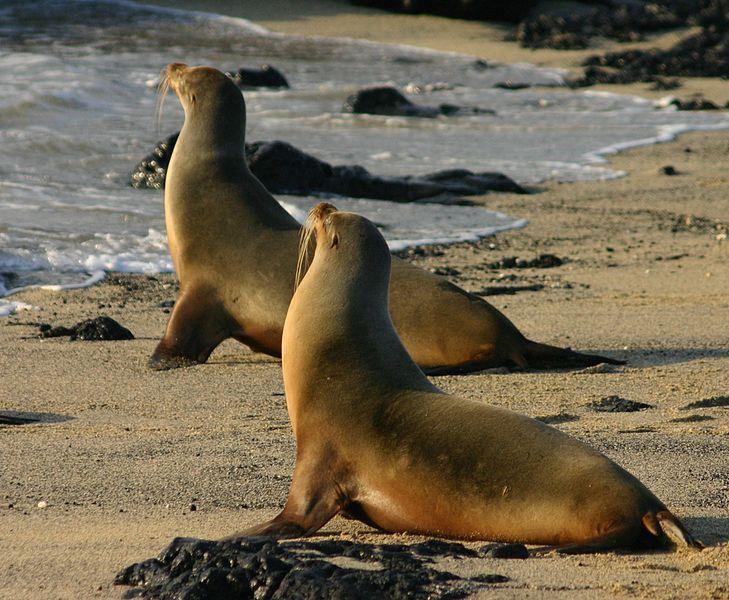 5Galapagos_sea_lions