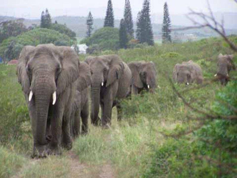 В редица един по един слоновете пристигат, за да отдадат последна почит на своя спасител.