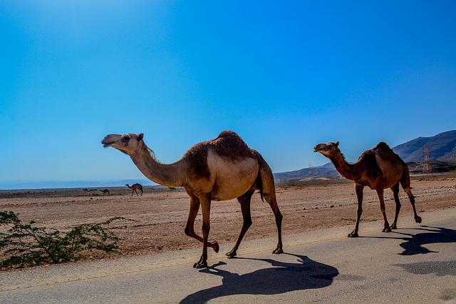 camel-468096_640