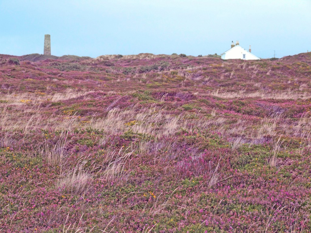 cornwall-st-agnes-heather