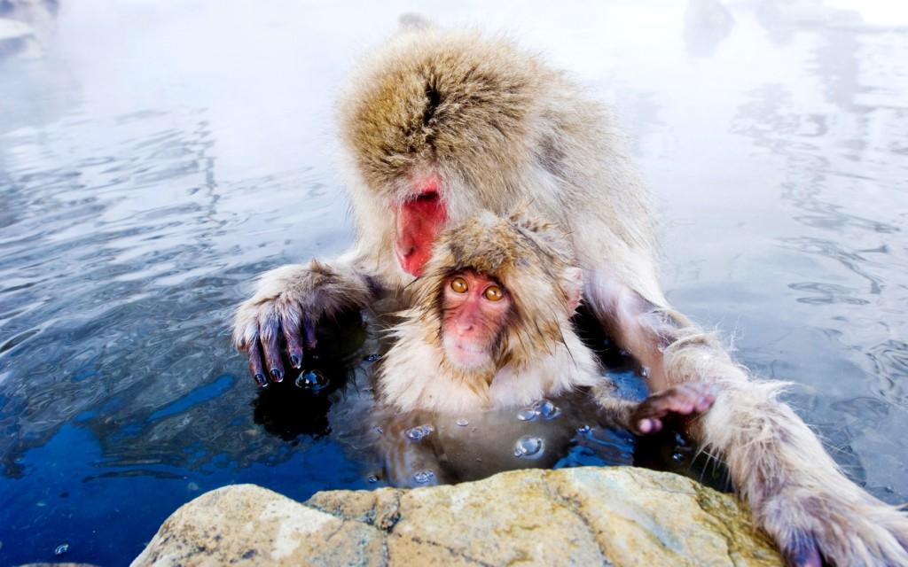 Jigokudani-Monkey-Park-Japan-–-monkeys-bathing-in-spring-EYDXDC-1680x1050