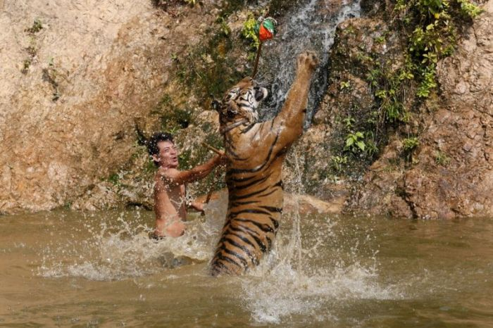 tiger_temple_in_thailand_01
