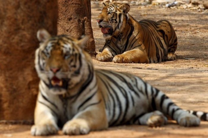 tiger_temple_in_thailand_02