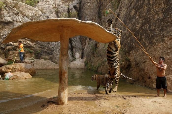 tiger_temple_in_thailand_03
