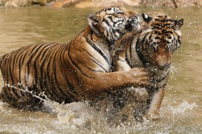tiger_temple_in_thailand_05