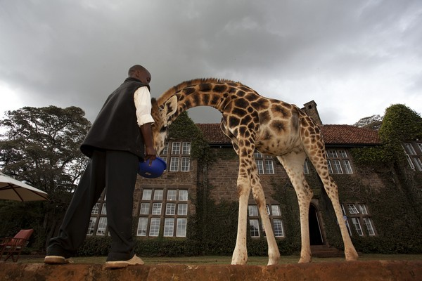 giraffe manor 9
