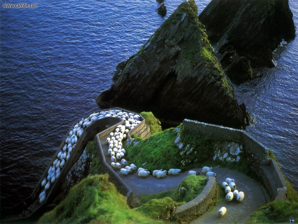 Овце, полуостров Дингъл.