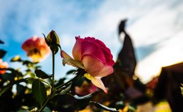 роза, цвете