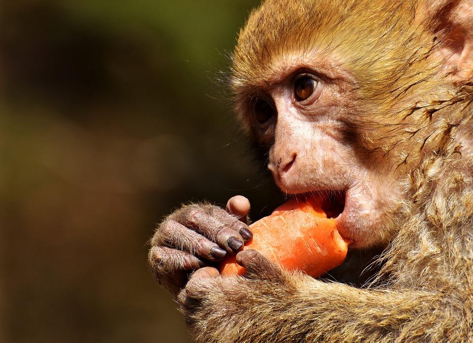 monkey, маймуна, морков