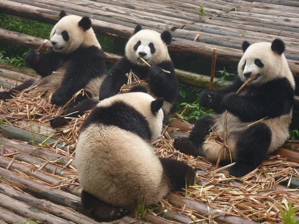 panda, панда, мечка